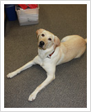 Photo of Lily the therapy dog, a yellow labrador retriever